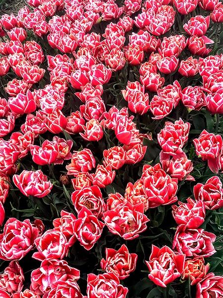 Tulpe montessori